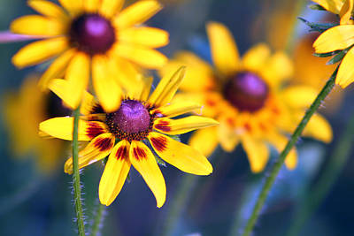 Black Eyed Susan's Art Print by Evelyn Patrick