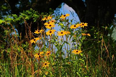Photograph - Black-eyed Susans by Kathryn Meyer