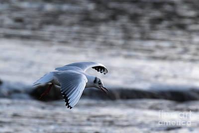 Photograph - Black Headed Gull by Brian Roscorla