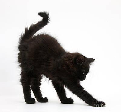 Black Kitten Stretching Art Print by Mark Taylor
