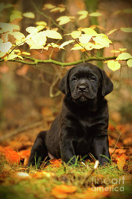 Photograph - Black Labrador Retriever Puppy by Waldek Dabrowski