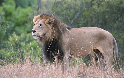 Photograph - Black Maned Lion by Sandra Bronstein
