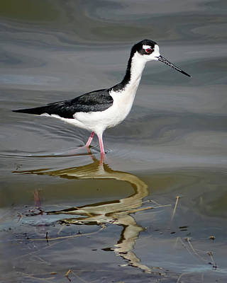 Photograph - Black-necked Stilt by Dawn Currie