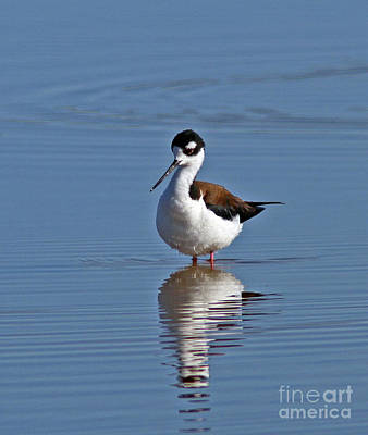 Black Photograph - Black-necked Stilt by Gary Wing