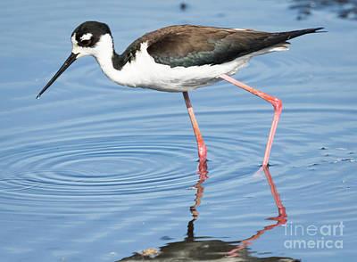 Photograph - Black-necked Stilt by Ricky L Jones