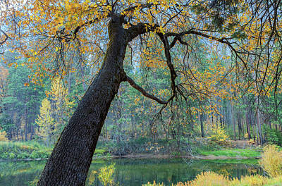 Photograph - Black Oak by Jonathan Nguyen