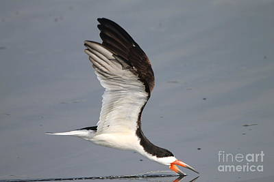 Photograph - Black Skimmer  by Kathy Gibbons