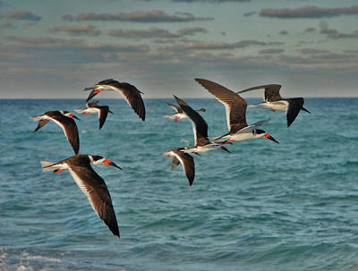 Photograph - 1- Black Skimmers by Joseph Keane