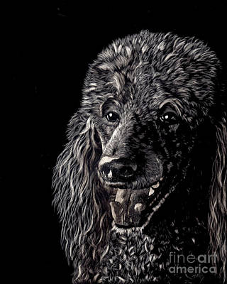 Drawing - Black Standard Poodle by Terri Mills
