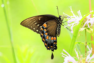 Photograph - Black Swallowtail Butterfly by Ben Graham