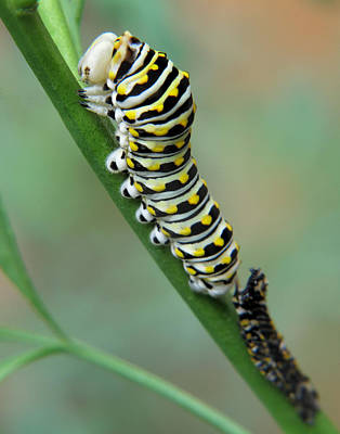 Photograph - Black Swallowtail Caterpillar by David and Carol Kelly