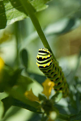 Photograph - Black Swallowtail Caterpillar by Jeff Folger