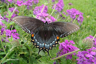 Photograph - Black Swallowtail by Kerry Beverly