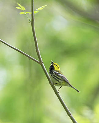Photograph - Black-throated Green Warbler by Jim Zablotny