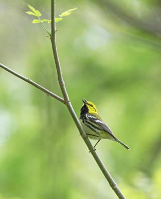 Photograph - Black-throated Green Warbler by Jim Zablotny