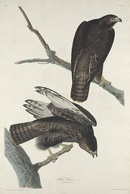 Hawk Drawing - Black Warrior by Dreyer Wildlife Print Collections