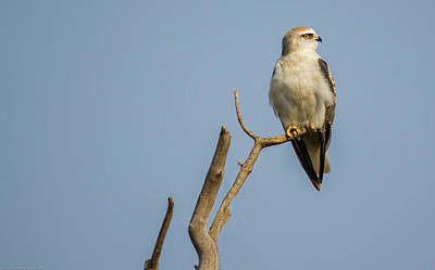 Photograph - Black Winged Kite  by Manjot Singh Sachdeva