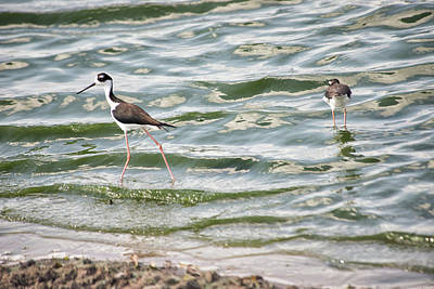 Kitchen Signs Rights Managed Images - Black-Winged Stilt Royalty-Free Image by Carol Ailles
