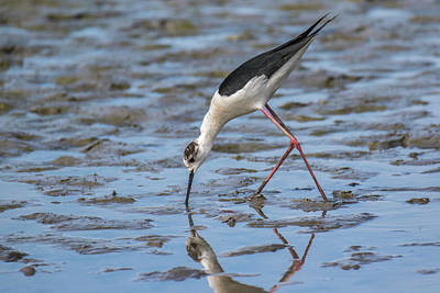 Photograph - Black-winged Stilt - Himantopus Himantopus by Jivko Nakev