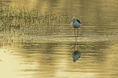 Photograph - Black-winged Stilt by Jean-Luc Baron