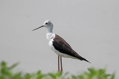 Photograph - Black Winged Stilt by Pietro Ebner