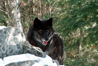 Photograph - Black Wolf by Brad Hoyt