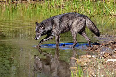 Photograph - Black Wolf by Jack Bell