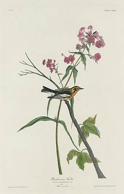 Wings Drawing - Blackburnian Warbler by Dreyer Wildlife Print Collections