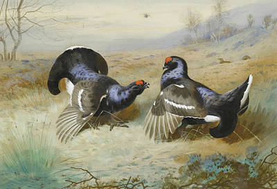 Painting - Blackcocks At The Lek by Archibald Thorburn