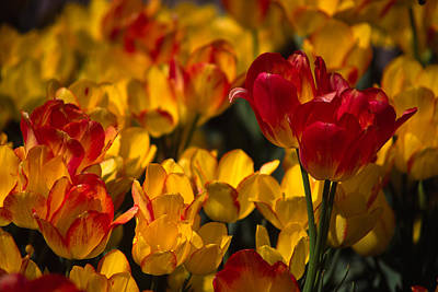 Photograph - Blazing Tulips by Michele Burgess