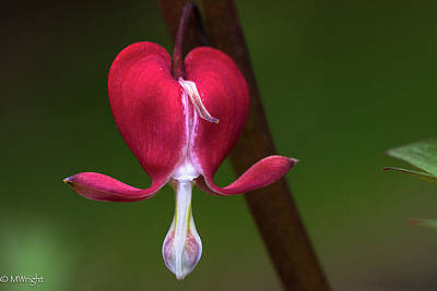 Photograph - Bleeding Heart by Michele Wright
