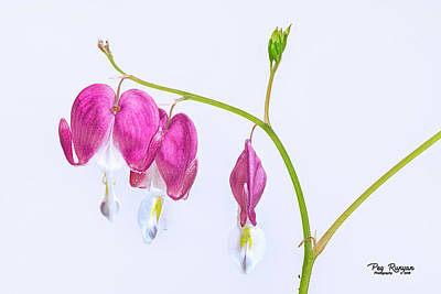 Photograph - Bleeding Hearts by Peg Runyan