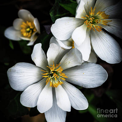 Bloodroot Photograph - Bloodroot In Bloom by Thomas R Fletcher