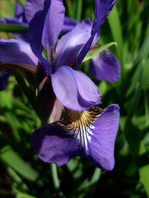 Photograph - Blooming Iris by Amanda Vouglas