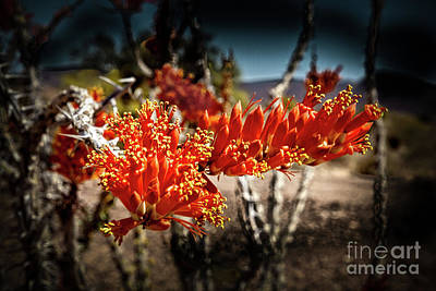 North American Vine Photograph - Blooming Ocotillo by Robert Bales