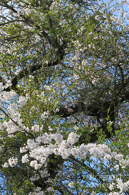 Photograph - Blossom Time by Frank Townsley