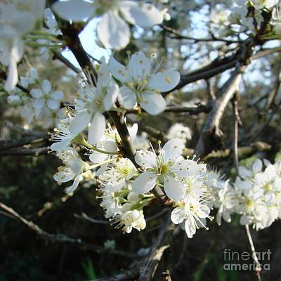 Photograph - Blossoms Of Spring by Itaya Lightbourne