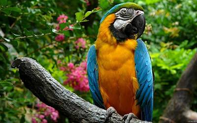 Yellow Digital Art - Blue-and-yellow Macaw by Super Lovely