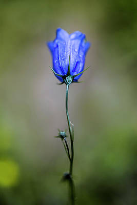 Dew Photograph - Blue Bell by Nailia Schwarz