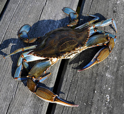 Chesapeake Bay Photograph - Blue Crab by Jana Goode