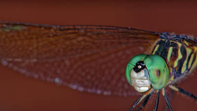 Photograph - Blue Dasher Dragonfly by Jonathan Davison