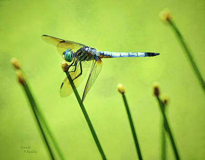 Photograph - Blue Dasher Dragonfly by Sandi OReilly