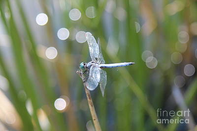 Photograph - Blue Dragonfly by Anthony Jones
