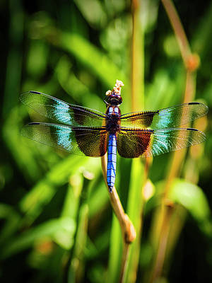 Photograph - Blue Dragonfly by David Kay