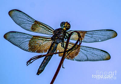 Photograph - Blue Dragonfly by Toma Caul