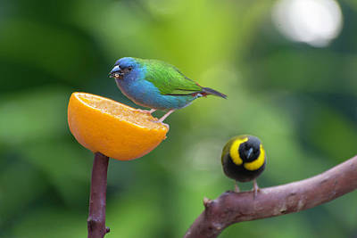 Photograph - Blue-faced Parrotfinch by John Poon