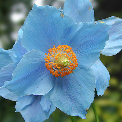 Photograph - Blue Flower, Butchart Gardens, Victoria Bc Canada by Michael Bessler