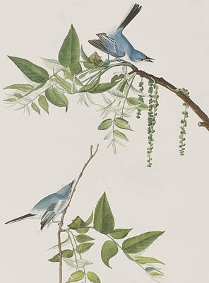 Flycatcher Painting - Blue Grey Flycatcher by John James Audubon