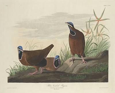 Pigeon Drawing - Blue-headed Pigeon by Dreyer Wildlife Print Collections