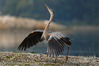 Photograph - Blue Heron Dance by Sue Harper